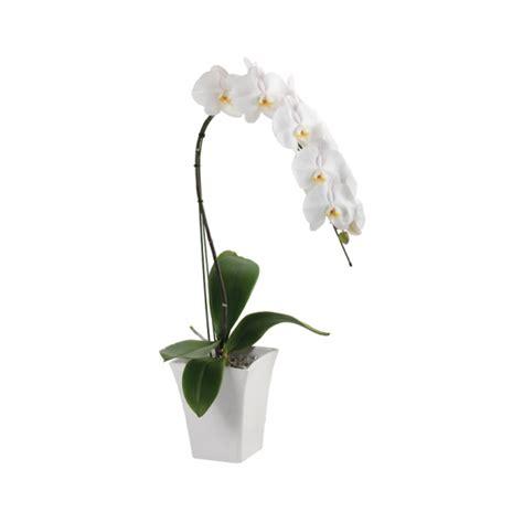 Pot Fleksibel Anggrek anggrek putih ekakarya 1 tangkai agrowing co id