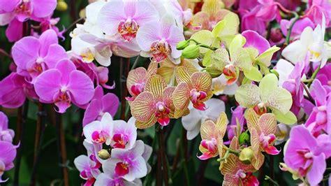 cura delle orchidee in appartamento curare le orchidee orchidee cura delle orchidee in casa