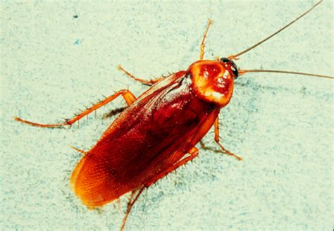 do roaches eat bed bugs roaches