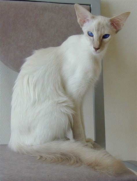 The Balinese balinese cat beautiful jkc
