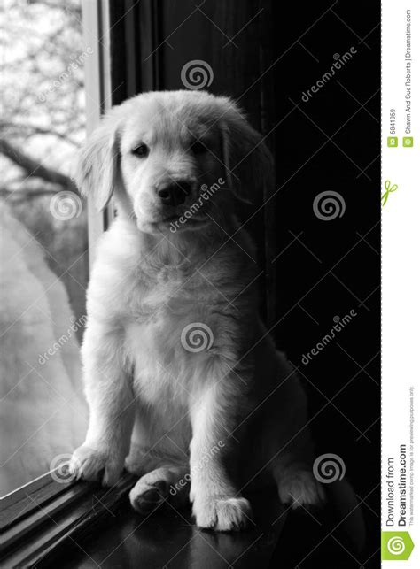 black and white golden retriever pictures black and white golden retriever puppy royalty free stock images image 5841959