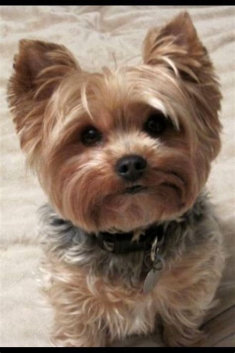yorkie summer haircuts pin yorkie haircuts for summer on