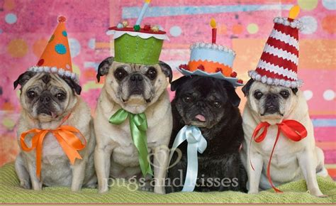 happy birthday pug images happy birthday pugs kisses happy birthday to all my fel flickr