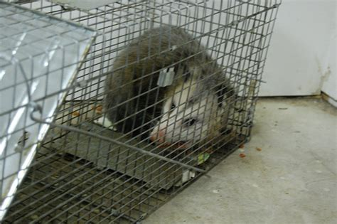 how do you get rid of possums in the backyard the best 28 images of how do you get rid of possums in the