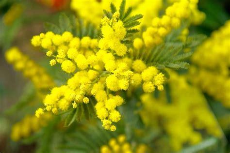 fiore di mimosa immagini festa della donna foto e frasi per gli auguri