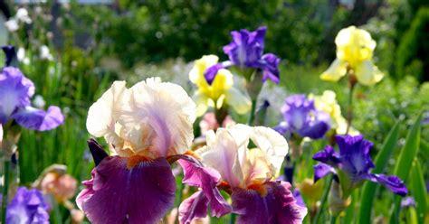 Iris Teilen by Bart Iris Teilen Mein Sch 246 Ner Garten
