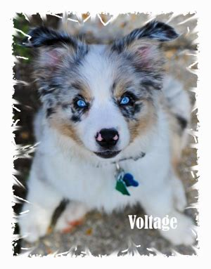 australian shepherd puppies for sale in louisiana wisdom kennels new orleans louisiana miniature australian shepherds akc