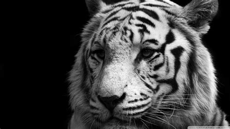wallpaper black tiger download tiger black and white wallpaper 1920x1080
