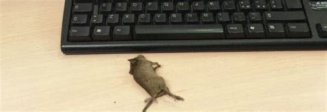 roma ufficio anagrafe roma topo morto sulla scrivania dell ufficio anagrafe foto