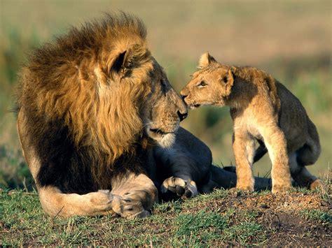 imagenes de leones con sus cachorros fondos le 243 n y su cachorro wallpapers le 243 n y su cachorro
