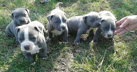 bull terrier puppies for sale in ga american pit bull terrier puppies for sale atlanta ga 266645