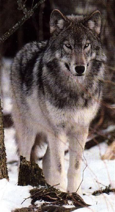 best 25 wolf range ideas on pinterest wolf oven wolf 25 best ideas about timber wolf on pinterest wolves