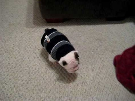 knitting pattern for english bulldog sweater english bulldog with his sweater youtube