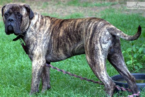 brindle bullmastiff puppies for sale pin bullmastiff brindle puppies new cars review for 2013 on