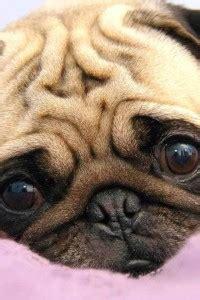 why do pugs wrinkles pugpugpug