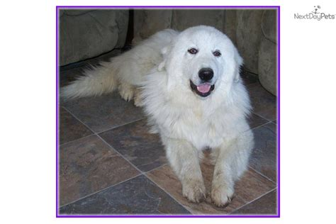 great pyrenees golden retriever mix for sale golden pyrenees breed information and pictures golden pyrenees golden pyreneess