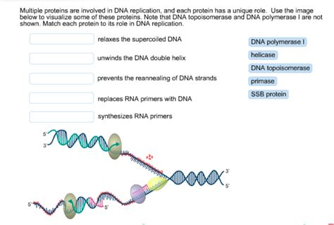 7 proteins involved in dna replication biology archive october 29 2015 chegg