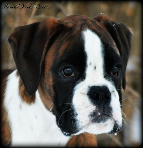 boxer puppies ma black boxer breeders images