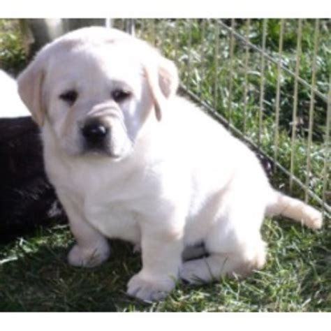 lab puppies for sale in maine riorock labradors labrador retriever breeder in monticello maine listing id 9032