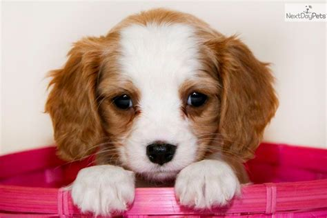 king charles cavalier puppies ohio cavalier king charles spaniel puppy for sale near columbus ohio 1b50a7f7 9881