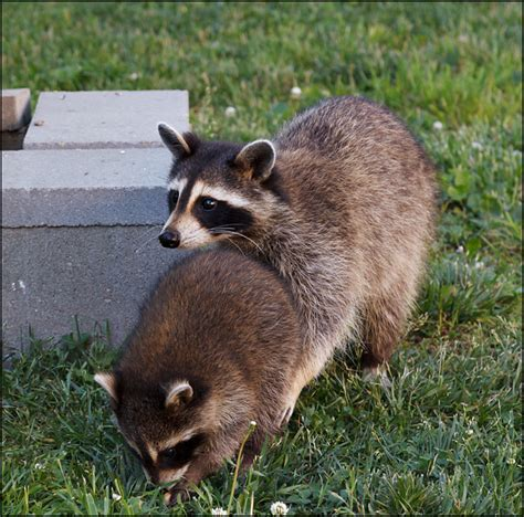 a mother raccoon and one of her babies in my parents