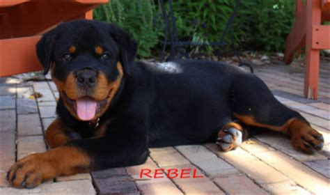 rottweiler puppies colorado colorado rottweiler puppies denver for sale from vom reece haus rottweilers