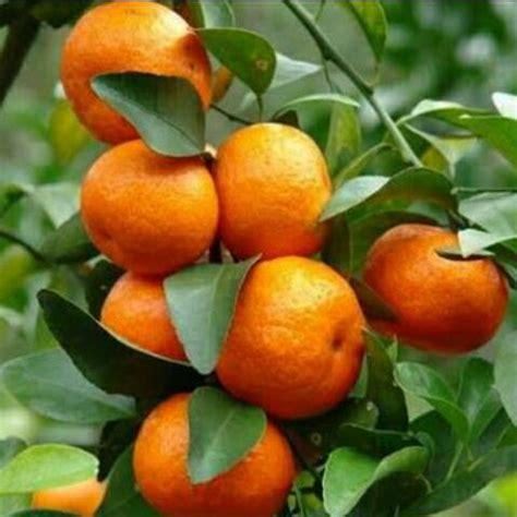 Bibit Buah Jeruk Santang tanaman buah jeruk santang madu samudrabibit