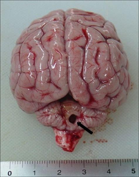 cerebellar hypoplasia in dogs cerebellar hypoplasia