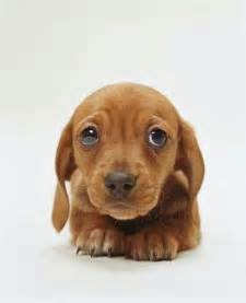 Dachshund Puppies Dachshund Puppies Images Puppies Pictures
