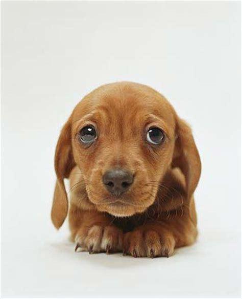 dachshund puppy pictures dachshund puppy m5x eu