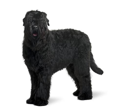 What Large Dogs Shed The Least by Top 30 Dogs That Don T Shed Small Medium And Large