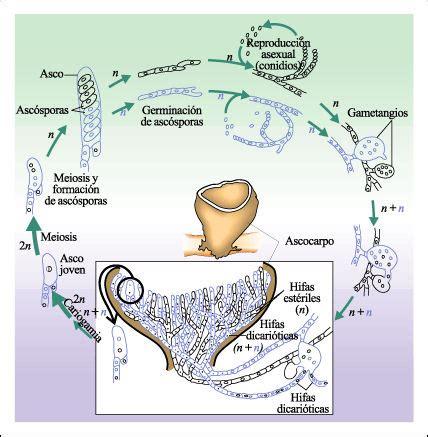 biolog 237 a y geolog 237 a smsavia ciclo vital de un basidiomiceto basidiomicetos basidiomycetes caracter 237 sticas generales
