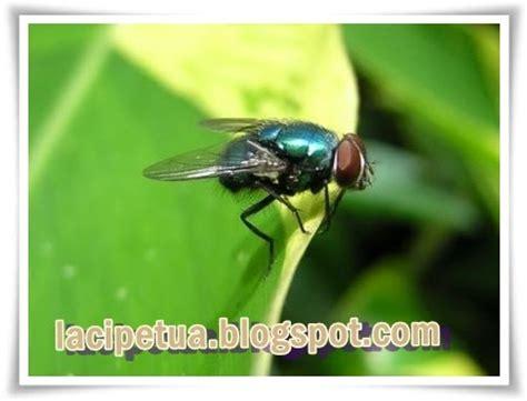 Minyak Kutus Kutus Atasi Masalah Sakit Pada Tumit laci petua menghalau lalat