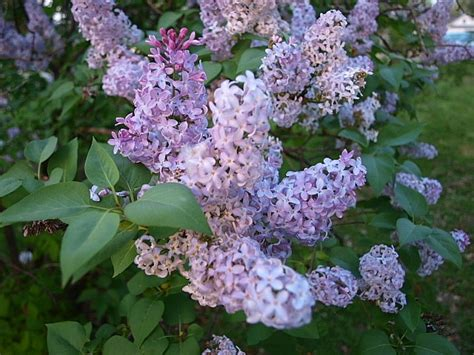 lilac bush lilac bushes lilacs tree parfume