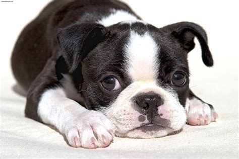 Do Boston Terrier Shed by Boston Terrier Pictures Information Temperament