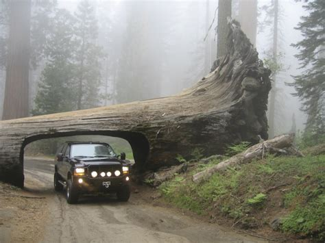 Chandelier Tree Leggett Ca Destination Drive Through Trees Oh Ranger