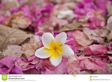 pink flower floor l white plumeria flower on wilt pink bougainvillea flower