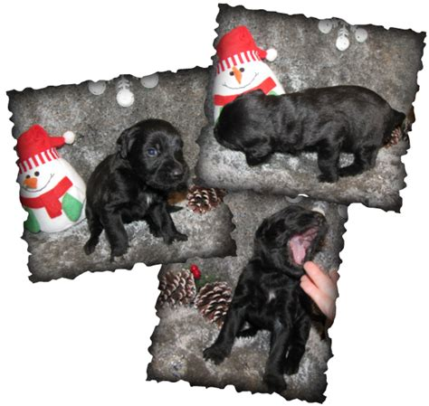 free puppies boise free puppies boise id breeds picture