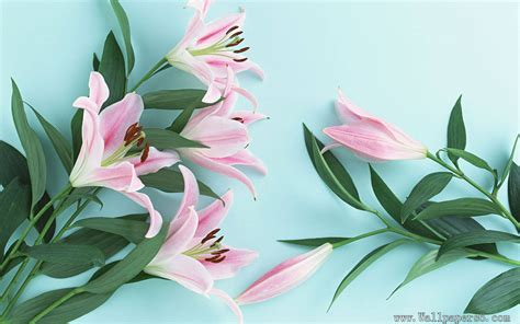 wallpaper flower lily lily flower wallpapers free download wallpapers