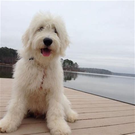 mini goldendoodles florida 13 best images about teddy doodle on