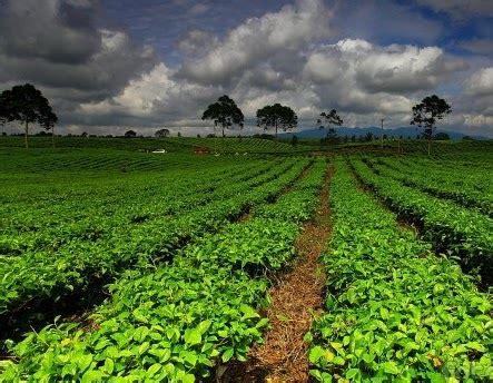 Teh Daun Afrika Curah budidaya tanaman teh cara tanam dari pembibitan hingga panen saka doci