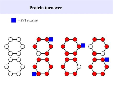 protein turnover ppt molecular mechanisms of term memory powerpoint
