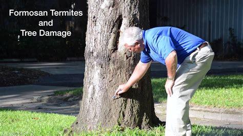 check  formosan termites  trees youtube