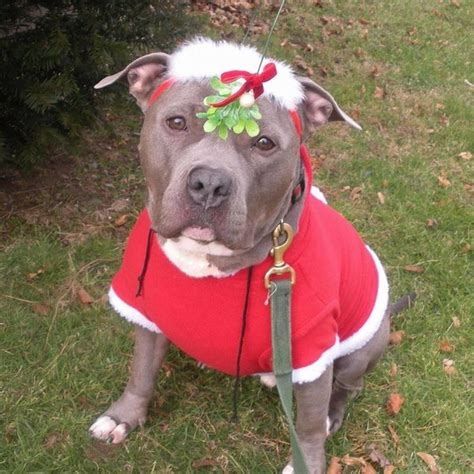 santa pits pit bulls dressed in clothes make us believe in