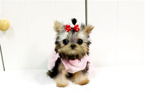 yorkie puppies houston yorkie 5000 from royal teacup puppies in houston tx 77049
