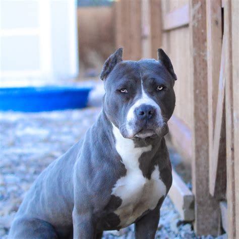 blue eyed pitbull puppies for sale grey and white pitbull with blue www pixshark images galleries with a bite