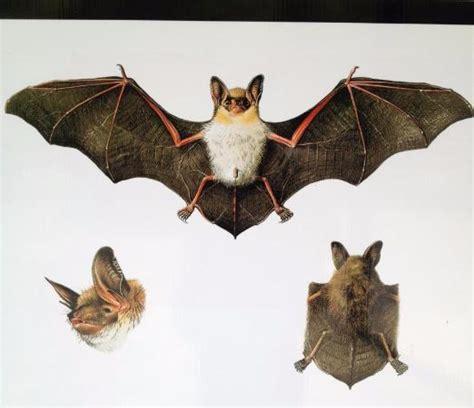 le pipistrelo specie di pipistrello foto di grotte di collepardo collepardo tripadvisor