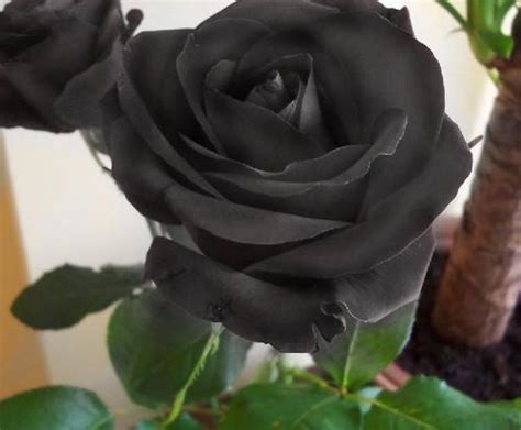 Rosas Negras | yeimi youtube