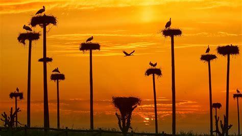 white stork ciconia ciconia nests  rocks  los