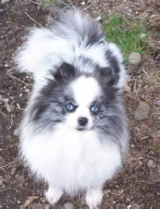 parti pomeranian lovely merle parti pomeranian animals dogs and puppies